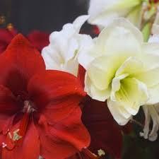 amaryllis caladium bulb company 10 photos nurseries