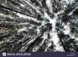 100 Casuarinas Trees Tarkarli Malvan Sindhudurga