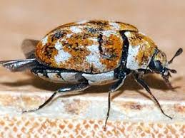 Do Carpet Beetle Bite by Best Control Tips On How To Get Rid Of Carpet Beetles