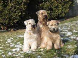 Do Irish Wheaten Terriers Shed by Soft Coated Wheaten Terrier Breeder U2013 Mrs Behaviour