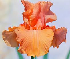 19 best garden images on bearded iris iris flowers