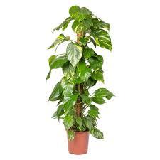 efeutute epipremnum pinnatum inkl moosstab gesamthöhe ca 120 cm