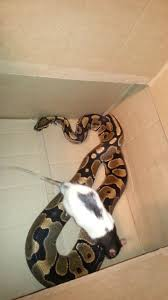 Ball Python Shedding Eating by Ball Python Eat Large Rat Youtube