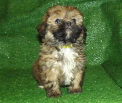 Shorkie Shih Tzu X Yorkshire Terrier Small non shedding