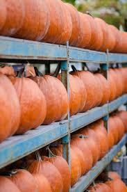 Homemade Fertilizer For Pumpkins by Pumpkins Articles Gardening Know How