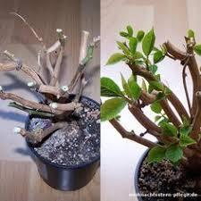 weihnachtsstern schneiden weihnachtsstern pflege pflanzen