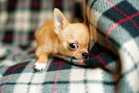 Small Non Shedding Dogs by Do Certain Dog Breeds Feel The Cold More Than Others Tears