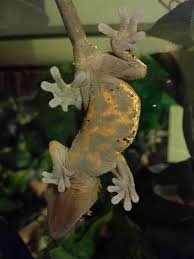 Crested Gecko Shedding Help by My Lil Crested Gecko Looks Like She Has Lava Running Through Her