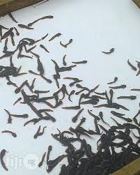 Fingerling And Juvenile Catfish Available At Famous Farm Ilorin
