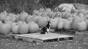 Using Pumpkin For Dog Constipation by Pumpkin For Cat Constipation Cuteness