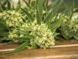 recolte cannabis exterieur date quand et comment récolter ton cannabis weedseedshop