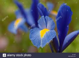 iris hollandica sapphire summer flower bulb blue