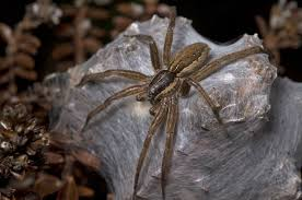 Remains Of The Day Spiders by Dolomedes Minor Wikipedia