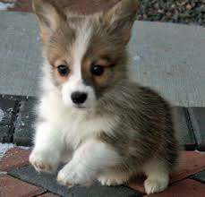 mini corgi puppies Cute Puppies Furrballs Pinterest
