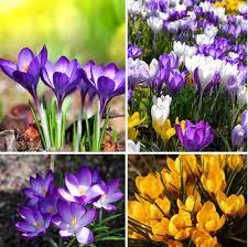 120pcs sale many varieties saffron seeds saffron flower seeds