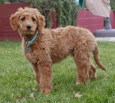 Non Shedding Dog Breeds Small by Goldendoodle Wikipedia