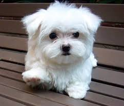 cute small dog breeds that don t shed pictures dog breeds puppies