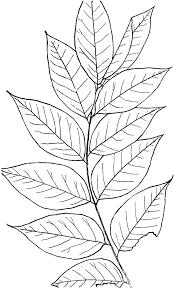 Genus Gymnocladus Lam Coffee Tree