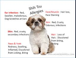 Best Christmas Tree Type For Allergies by Shih Tzu Allergies Everything You Must Know