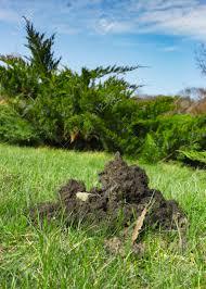100 The Lawns Moleht Hummock On The Lawn Mole Destroys The Lawns