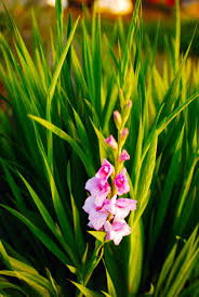 glads did not flower reasons for no blooms on gladiolus plants