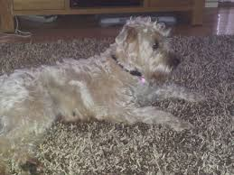 Do Wheaten Terrier Dogs Shed by 100 Do Wheaten Terrier Dogs Shed Soft Coated Wheaten
