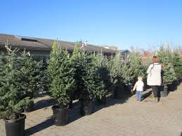 Potted Christmas Trees For Sale by Rent Christmas Trees Surrey Langley Vancouver