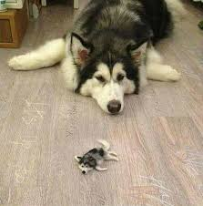 Do Malamutes Shed Hair by Huge Husky Gets A Miniature Friend U2026made From Its Own Fur Soranews24