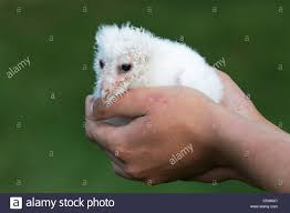 A Rescue Barn Owl Chick At 3 Weeks Old Stock Photo, Royalty Free ... Barn Rabbit Rescue Driving The Rusty 200 Abdoned 56 Chevy Cheap Truck Challenge Central Whidbey Island Fire Responds To At The Smith Injured Barn Owl Rescued Wildlife Friends Foundation Thailand Old Barns Long May They Live Shelter And Stand In Green Open Unboxing Paw Patrol Roll Rockys And Play Fun The Rescue Barn Adopted Dogs Rvr Horse Takes Worst Cases To Heal Renew Tbocom Paw Patrol Rocky8217s Track Set Walmartcom European Owl A Bird Rehabilitated Trained For Assortment Of 6 Small Dogs From Rescue Group Sit On Lavendar