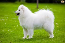 Do Samoyed Huskies Shed by Samoyed Dog Breed Information Buying Advice Photos And Facts