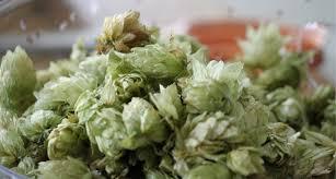 file freshly picked hops jpg wikimedia commons
