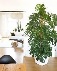 sämereien zwiebeln palmenartiger baum für ihr grünes