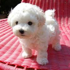 Top Dogs That Dont Shed Hair by Best 25 Small Dogs Ideas On Pinterest Cute Small Dogs Cavoodle