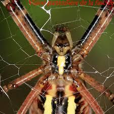 epeire fasciée epeire carrée et l epeire diadème des araignées