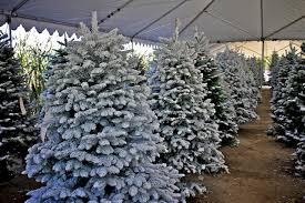 Silver Tip Christmas Tree Los Angeles by Live Oak Canyon Christmas Tree Farm Yucaipa Ca California