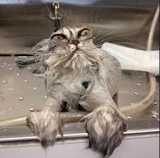 bathing cats cat baths 6 things you should not do catster