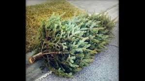 Millers Christmas Tree Farm Ohio by Christmas Tree Recycling Begins