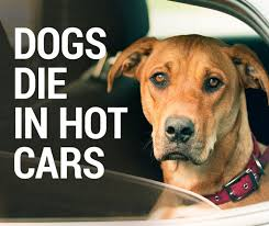 Do Rhodesian Ridgebacks Drool by It Only Takes Six Minutes For A Dog To Die In A Car Rspca Nsw