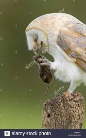 Barn Owl (Tyto Alba) Adult, With Wood Mouse (Apodemus Sylvaticus ... White And Brown Barn Owl Free Image Peakpx Sd Falconry Barn Owl Box Tips Encouraging Owls To Nest Habitat Diet Reproduction Reptile Park Centre Stock Photos Images Alamy Bird Of Prey Tyto Alba Video Footage Videoblocks Barn Owl Tyto A Heart Shaped Face Buff Back Wings Bisham Group Bird Of Prey Clipart Pencil In Color British Struggle Adapt Modern Life Birdguides Beautiful Owls Pulborough Brooks The
