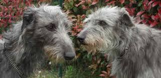 Irish Wolfhound Non Shedding by Scottish Deerhound Dog Breed Information And Images K9 Research