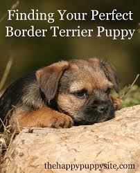 Do Pugs And Puggles Shed by Border Terrier A Complete Guide The Happy Puppy Site