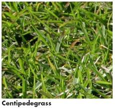 Carpet Grass Florida by Aces Publications Selecting Turfgrasses For Home Lawns Anr 0092
