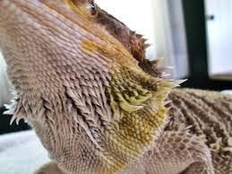 bearded dragon care yellow fungus