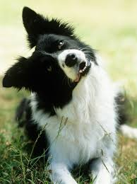 Miniature Dog Breeds That Dont Shed by 35 Best Medium Sized Dog Breeds List Of Popular Cute Medium