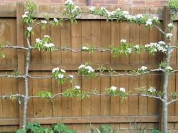 25+ Unique Espalier Fruit Trees Ideas On Pinterest | Fruit Trees ... Garden Design Trees For Traing Adds Beauty And Function Inside 90 Best Fruit Images On Pinterest Trees Backyards Best 25 Fast Growing Fruit Ideas Tree Wonderful Large Backyard Plum Tree Pics Orchards Benicia Community Gardens With With Cclusion How To Grow Which Apple For Small Garden 35 Citrus Homegrown Stone Sunset Mobile Enjoy The Full Of Flowers Alamedasan