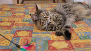 forest cat vs maine coon testing cat toys forest cat vs maine coon