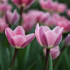 buy darwin hybrid tulip bulbs tulipa light and dreamy delivery