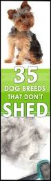 Low Shed Family Dog Breeds by Best 25 Hypoallergenic Dog Breed Ideas On Pinterest Best
