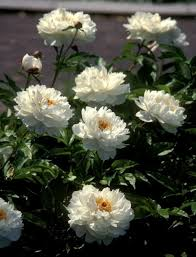 pivoine herbacee en pot le mois des pivoines horticulture maison le soleil québec