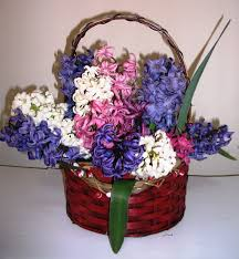 gift hyacinth bulb basket fragrant hyacinth bulb